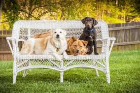 lifespan of a bluetick coonhound life expectancy of a black lab mix cuteness