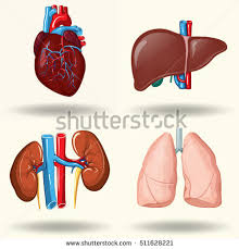 Liver Human Anatomy Spleen Stock Images Royalty Free Images U0026 Vectors Shutterstock