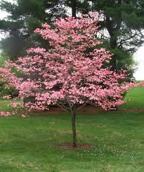 pink flower tree flowering dogwood