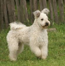 dogs with curly hair and floppy ears pumi dog info history temperament training puppies pictures