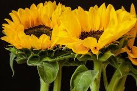 bouquet of sunflowers bouquet of sunflowers on a black background stock image image of