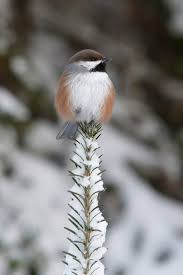 182 best chickadees u0026 titmice images on pinterest beautiful