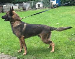 belgian sheepdog florida police k 9 u0027s sales upstate k 9