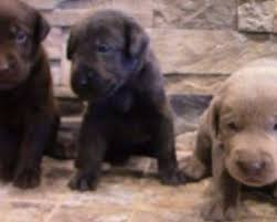 affenpinscher missouri affenpinscher puppies for sale in missouri