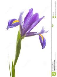 iris flower clipart 14 136 iris flower clipart clipart fans