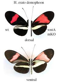 edit butterfly wing spots and stripes