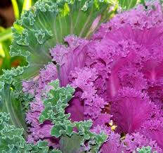 Nice Flowers Nice Flowers This Is A Photo Of Some Colorful Kale Waterbury