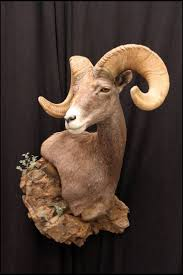 535 best taxidermy images on pinterest trophy rooms deer mounts
