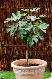 Potted Patio Trees by Trees For Patios And Small Space Gardens