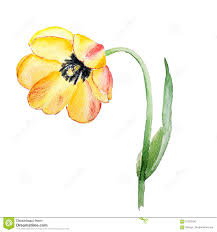 botanical watercolor illustration sketch of yellow red tulip
