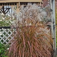 miscanthus oktoberfest buy grass ornamental perennials