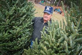 christmas tree harvest in full swing in bay area as garfield