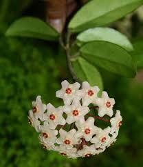 flora of zimbabwe species information individual images hoya