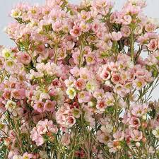 Flowers Wholesale Wax Flower Offered In Bulk At Wholesale Price With Flower Delivery