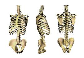Anatomy Of The Human Skeleton Human Skeleton Anatomy Periodic Tables