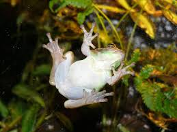 the online zoo american green tree frog