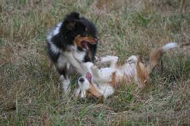 australian shepherd uglies gone to the dogs still alive and kicking