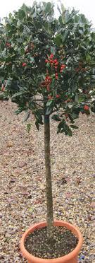 trees ilex nellie r standards buy