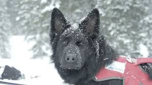 belgian sheepdog colorado world of adventure u0027 visits the elite for avalanche rescue