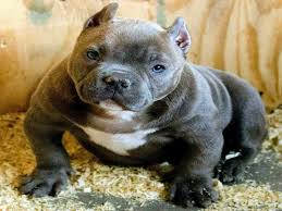 american pitbull terrier gator list of american bully names for your dogs updated u2022 american