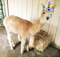 alpaca birthday blank template imgflip