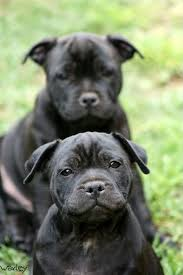 american pitbull terrier puppies for sale uk 25 best staffordshire bull terriers ideas on pinterest