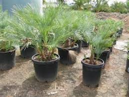 mediterranean fan palm tree all tropical palms nursery gilroy ca
