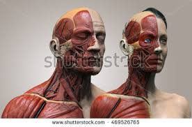 Female Muscles Anatomy Human Anatomy Female Muscle Anatomy Face Stock Illustration