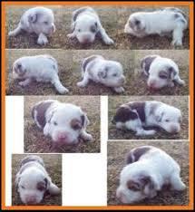 australian shepherd 3 weeks old hip u0027s spring litter 1 pup2 blue eyed red merle female miniature