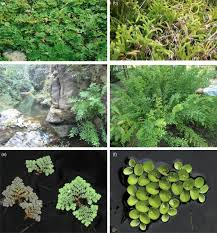 pteridophytes evolutionary boon as medicinal plants