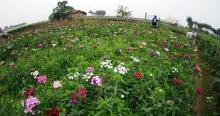 attractive flower villages in hanoi waiting for tet holiday