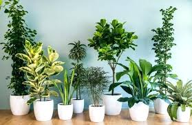 good inside plants large indoor plants and trees indoor large plants large indoor