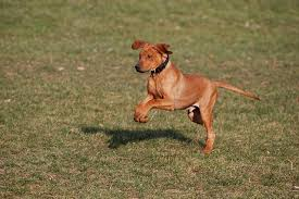 american pitbull terrier rhodesian ridgeback mix rhodesian ridgeback the african bull dogs dog breed answers