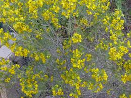 native plants australian native plants for southern california landscaping