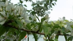 apple tree bloom wallpapers breeze waving flowers on branch apple tree blooming apple tree in