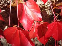 free images tree sun vine wine flower petal red color