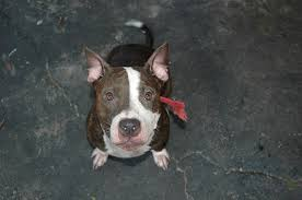 american pitbull terrier 4 weeks 500 montreal pit bull owners given 4 weeks to u201cdispose of u201d their