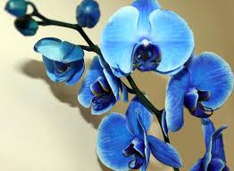 Blue Orchid Flower - blue orchids flower photo aa flowers pinterest flowers