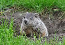groundhog removal wildlife command center mo