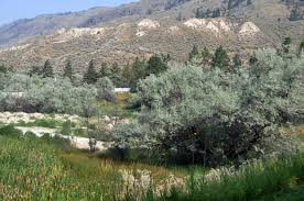 russian olive invasive species council of columbia