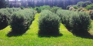 native hedge plants hedges grow your own privacy
