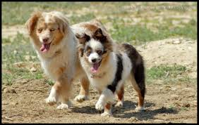 australian shepherd breeders southern california sacks pacific toys of southern california home