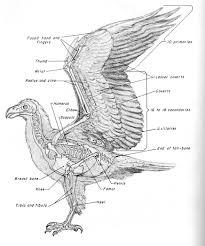 Human Anatomy Skeleton Diagram Human Anatomy Bird Anatomy The Avian Skeleton Is Very Unique And