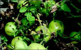 Diseases Of Tomato Plants - bacterial diseases of tomato bacterial spot bacterial speck