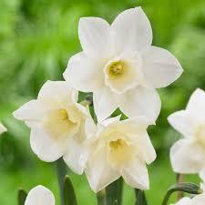 daffodil narcissus pueblo longfield gardens