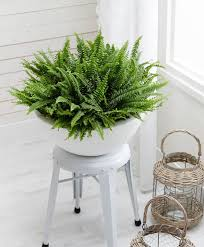 Indoor Plants That Don T Need Sun Boston Fern Indoor Plant In The White Pot Stunning Indoor Plants