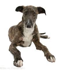 afghan hound vs wolfhound why go sighthound super sighthound rescue