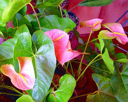 acalypha anthurium and sago palm ornamental plants and flowers