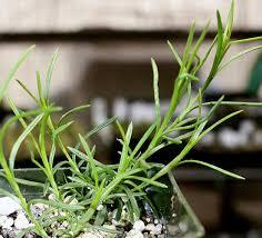 plants native to hawaii hawaiian native plants uh botany