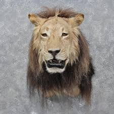 lions for sale lion shoulder mount 12260 the taxidermy store